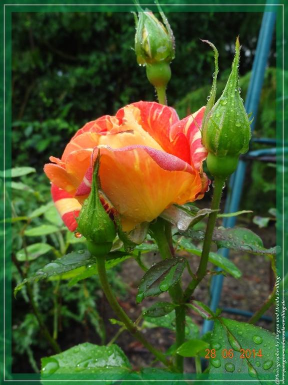 28.06.2014 - Rose