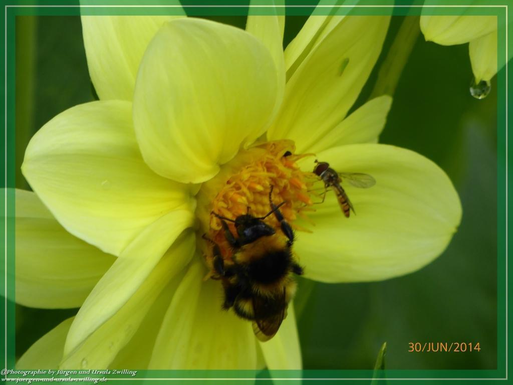 30.06.2014 - Hummeln (Bombus