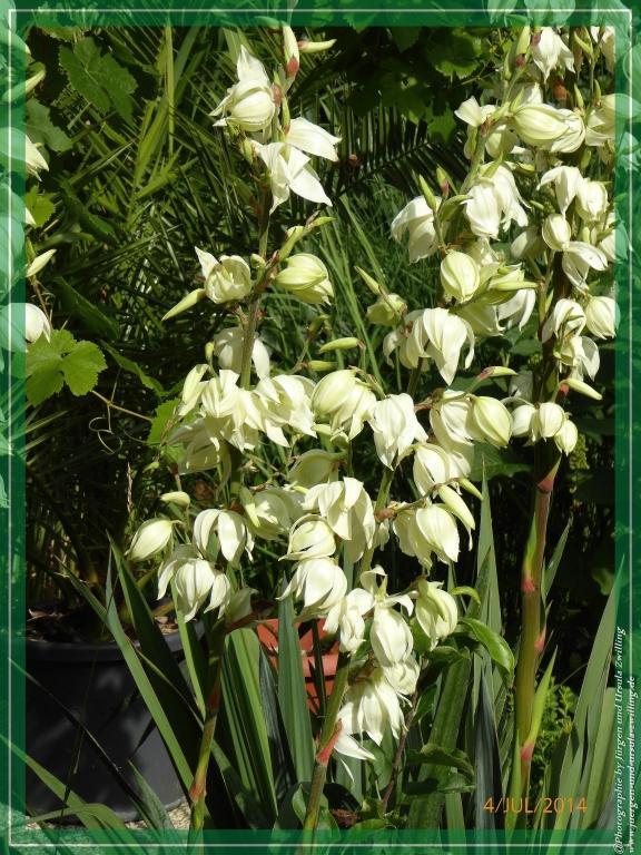 04.07.2014 - Palmlilie (Yucca filamentosa)
