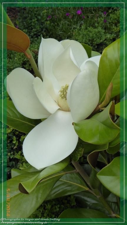 05.07.2014 - Immergrünen Magnolie (Magnolia grandiflora)