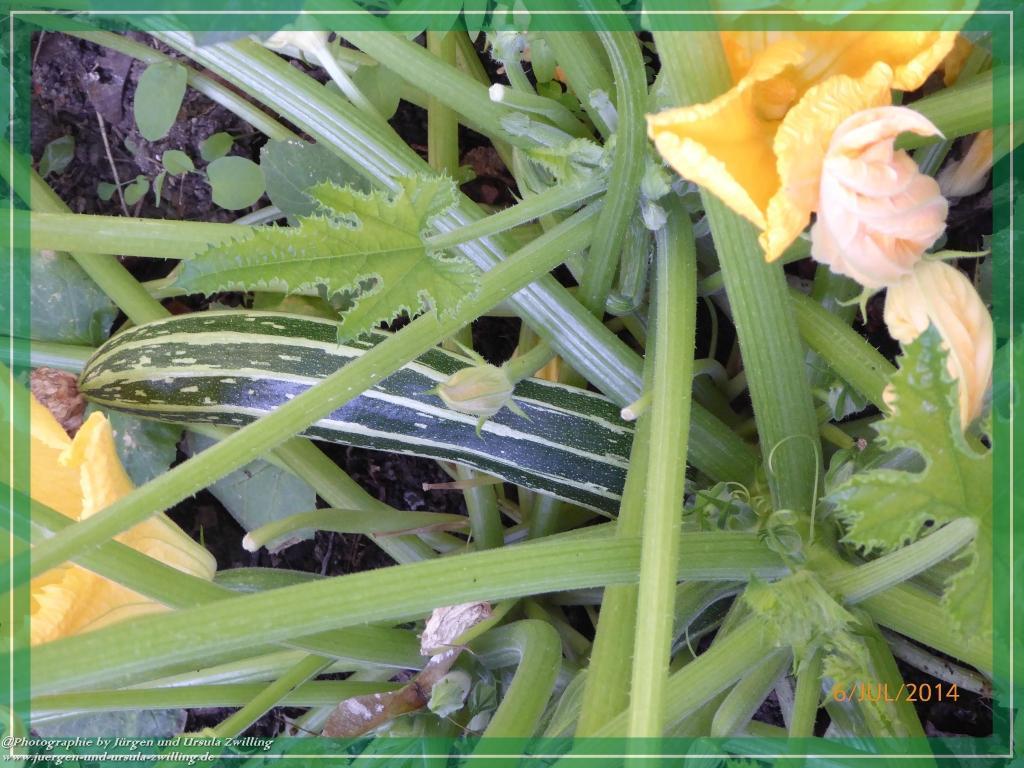 06.07.2014  Zucchini