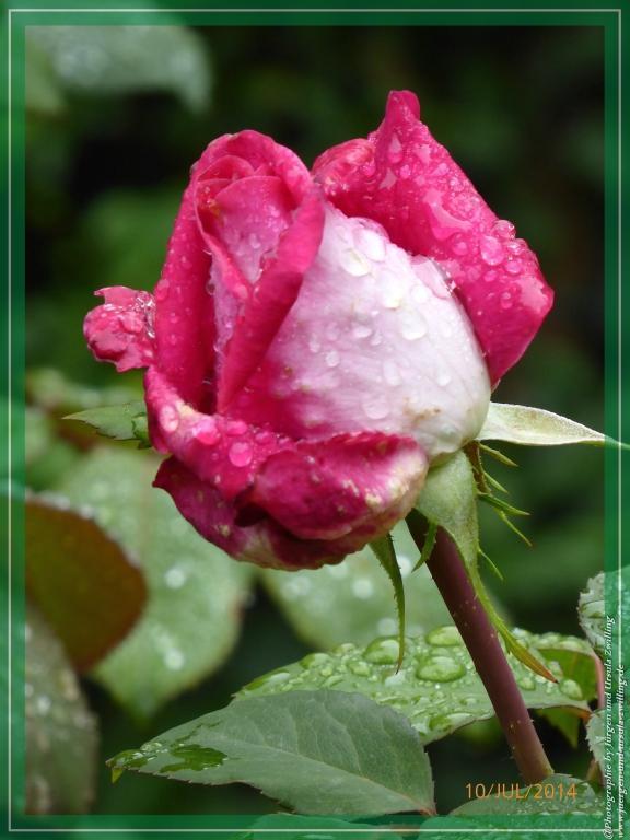 10.07.2014- Nostalgie Rose im Regen