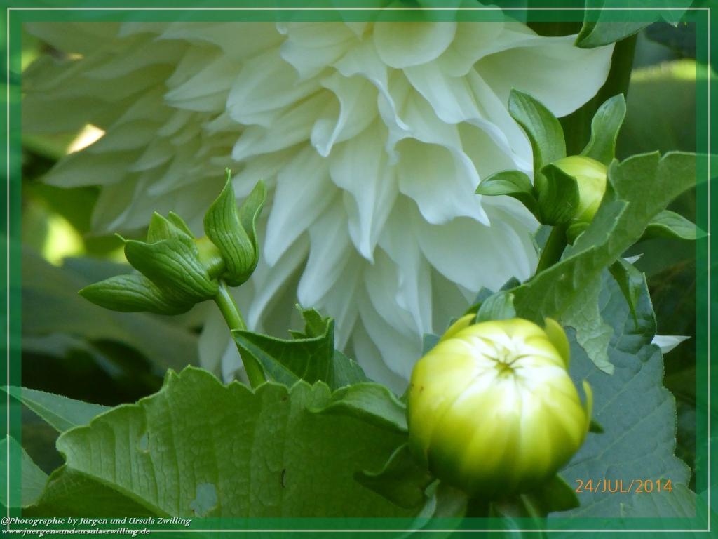 24.07.2014 - Dahlie ganz in weiß