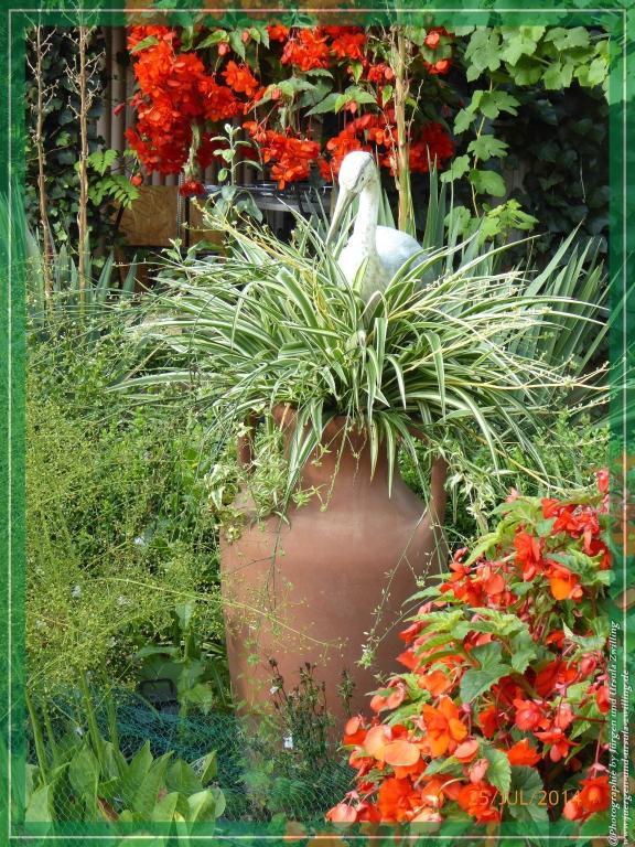 25.07.2014 - Grünlilie (Chlorophytum comosum) im Terrakotta Krug