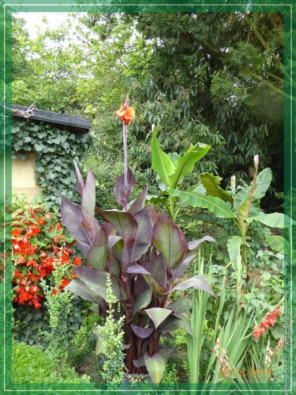 29.07.2014 - Erste Blüte der Strelitzien - Strelitziaceae