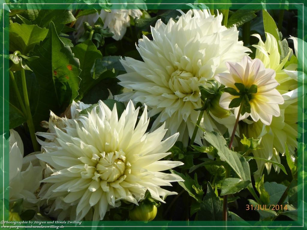 31.07.2014 - Weiße Dahlien in voller Blüte