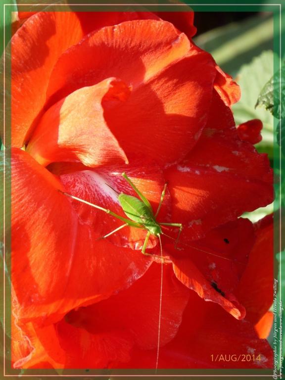 01.08.2014  - Erste Gladiole (Gladiolus)