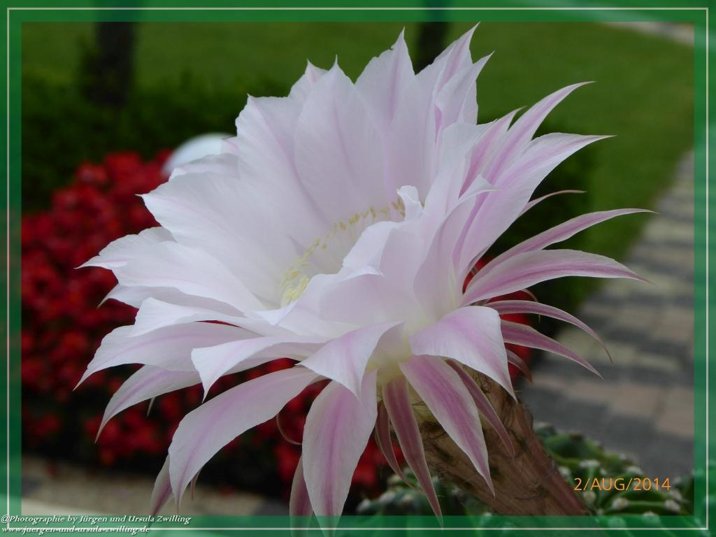 02.08.2014 - Ein Tag und Nacht blühender Kaktus aus der Gattung der Echinopsis