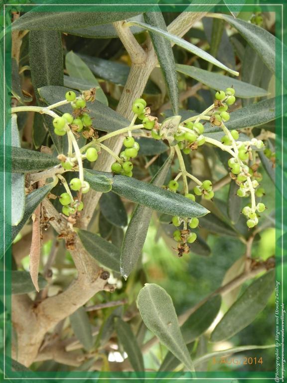 Die ersten Oliven