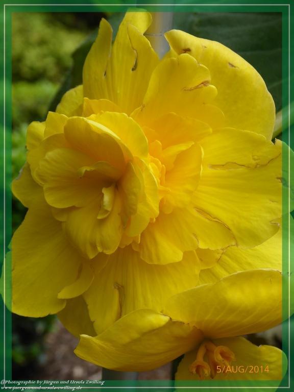 05.08.2015 - Gelbe Begonien