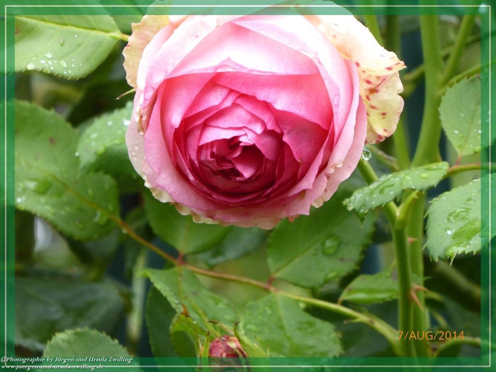 07.08.2014 -Rosenträume