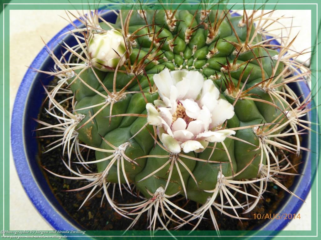 10.08.2014 - Blühender Parodia sellowii Kaktus