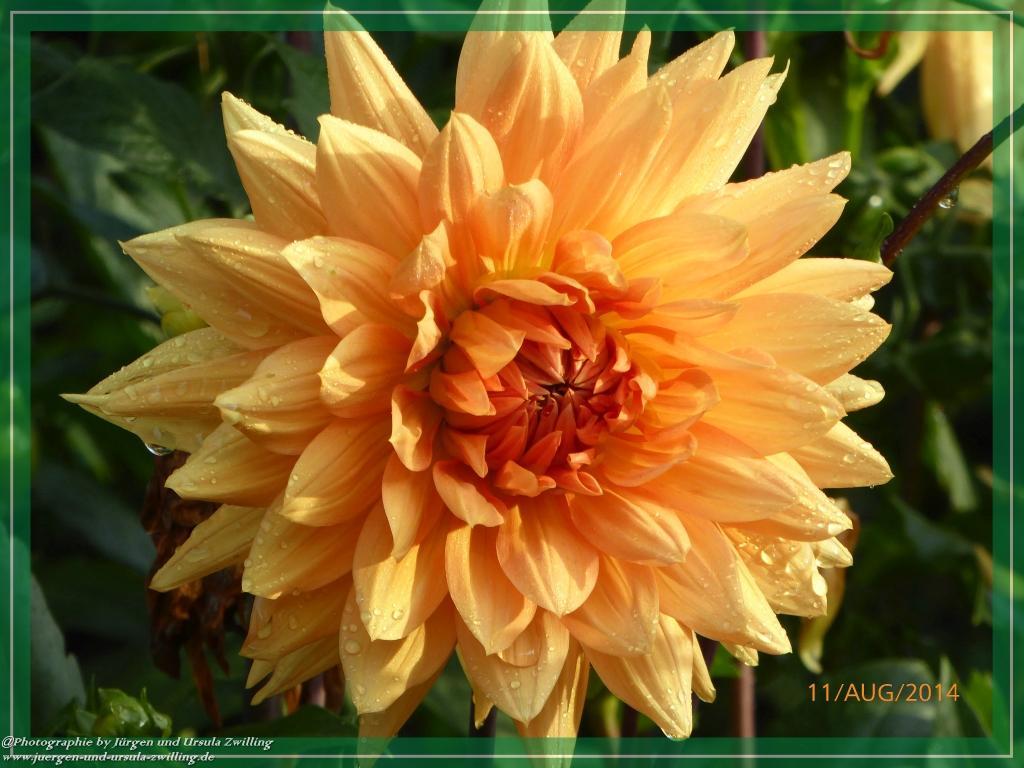 11.08.2014 - Dahlien in orange