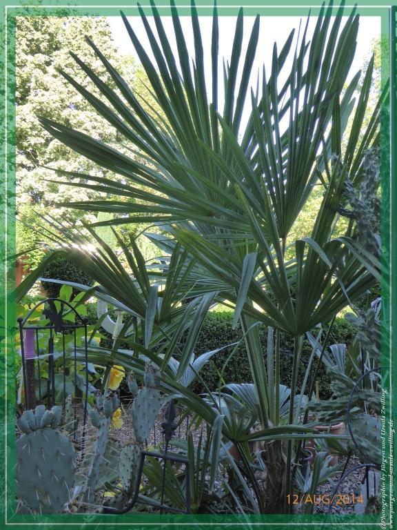 12.08.2014 - Winterharte Palmen selbgezogen aus Samen
