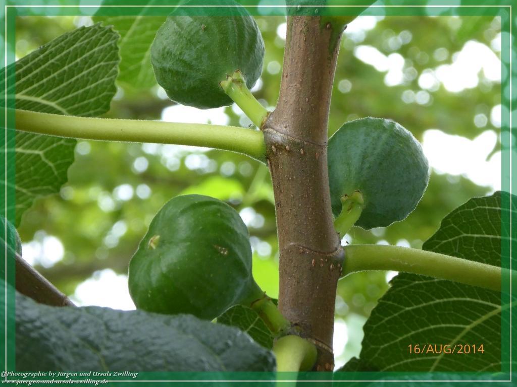 16.08.2014 - Feige (Ficus carica)