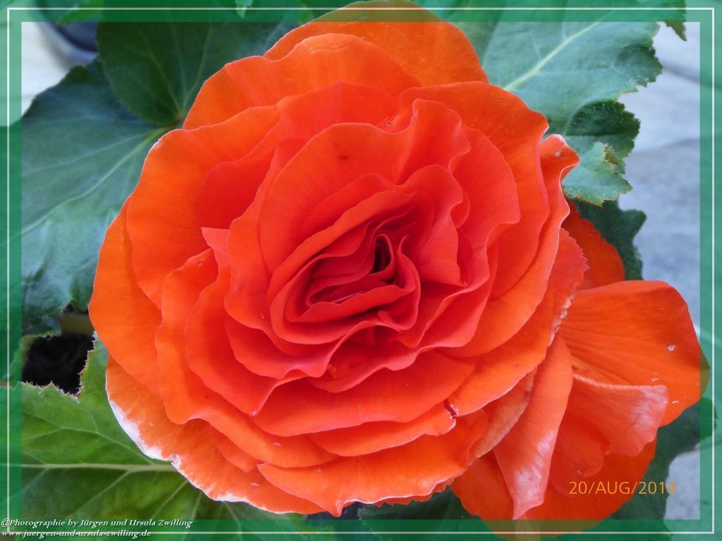 20.08.2014 - Begonienblüte in Rot