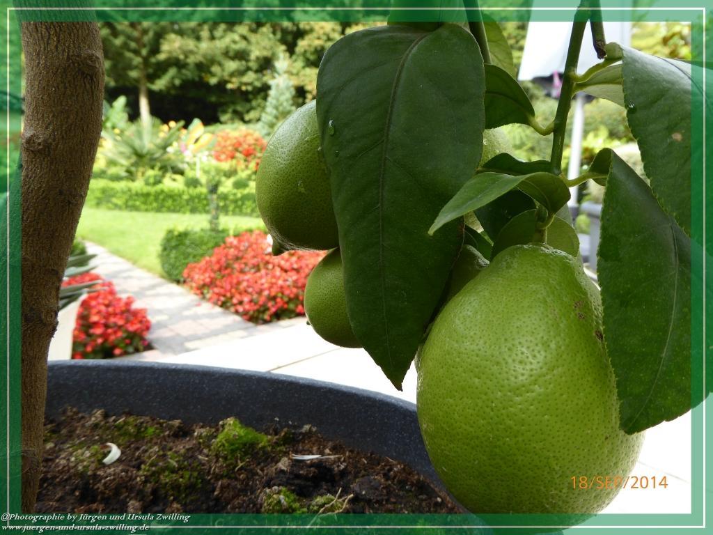 18.09.2014 - Zitronenernte und neue Blüte