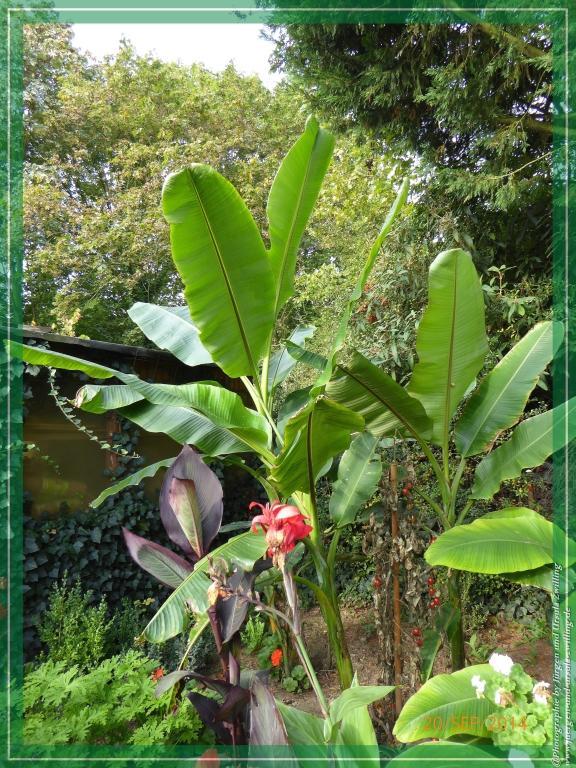 20.09.2014 - Musa basjoo - winterharte Banane Pflanze immer wieder ein Wachstumswunder