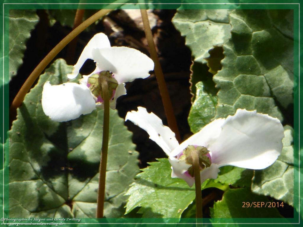 29.09.2014 - Alpenveilchen (Cyclamen) - der Duft der Alpen im Garten