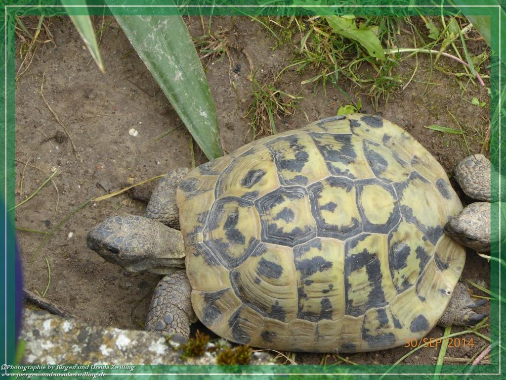 30.09.2014 - Unsere Schildkröten -  letzte Tage vor dem Unzug in Winterquartiert - leben seit mehr als 20 Jahren bei uns