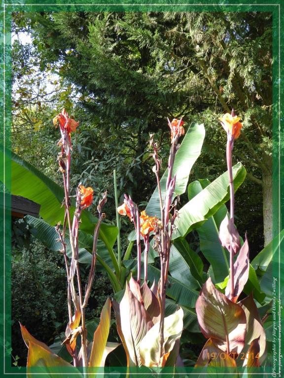 19.10.2014 - letzte Blüte der Strelitzien - Strelitziaceae