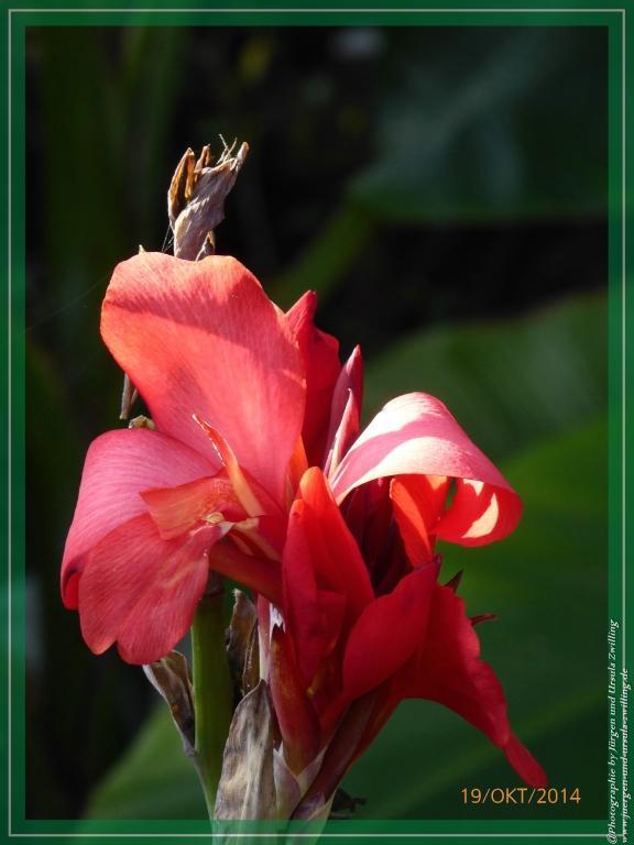 19.10.2014 letztes Blumenrohr (Canna)
