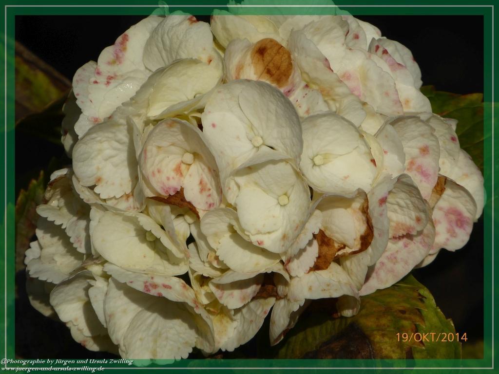 19.10.2014 - letzte Blüte der Hortensien