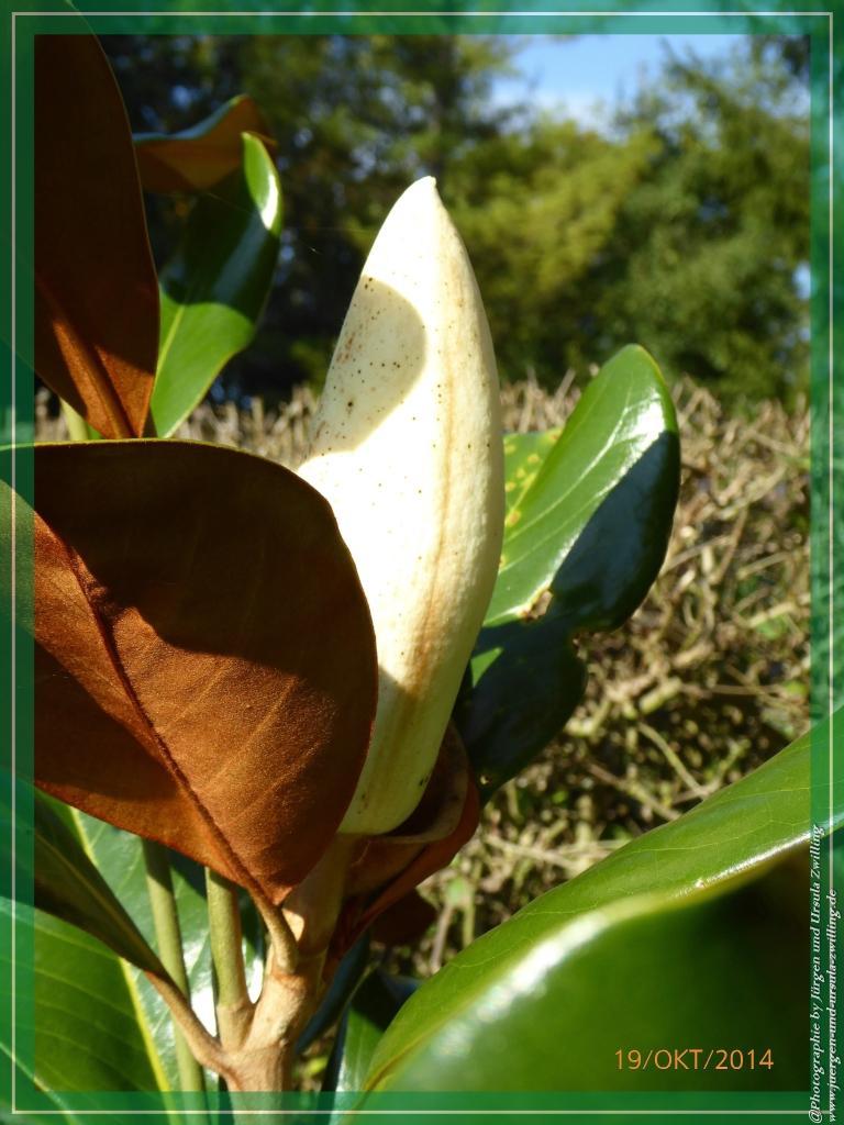19.10.2014- letzte Blüte der Immergrüne Magnolie (Magnolia grandiflora