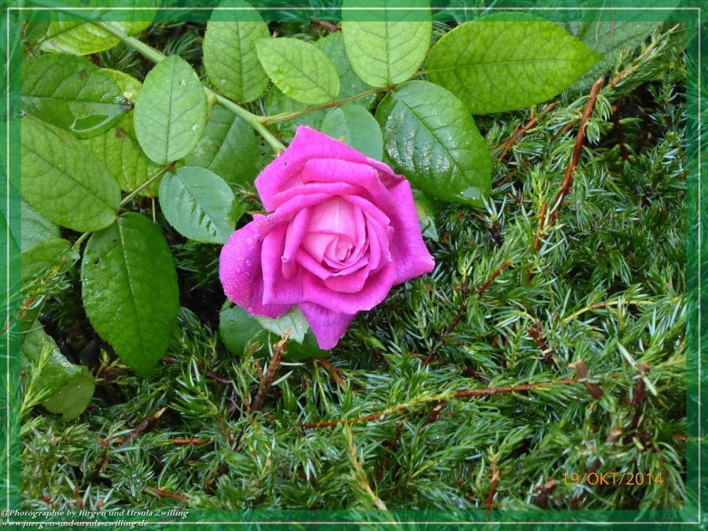 19.10.2014 - letzte Rosen