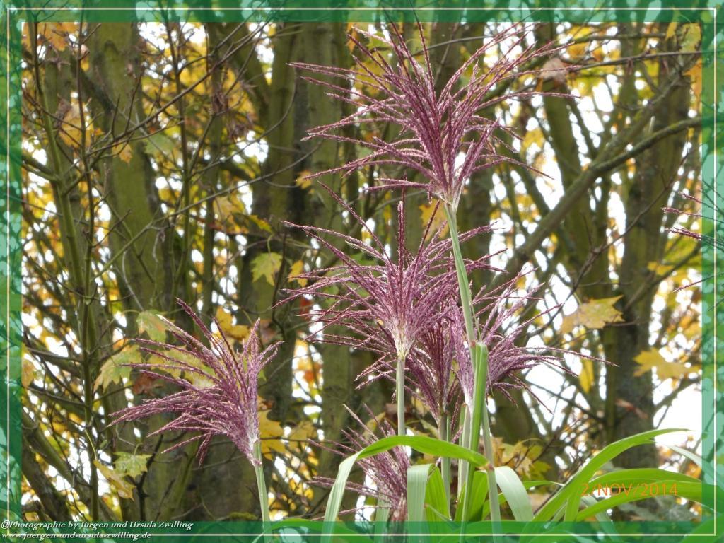 02.11.2014 - Blüte Chinaschilf (Miscanthus sinensis)