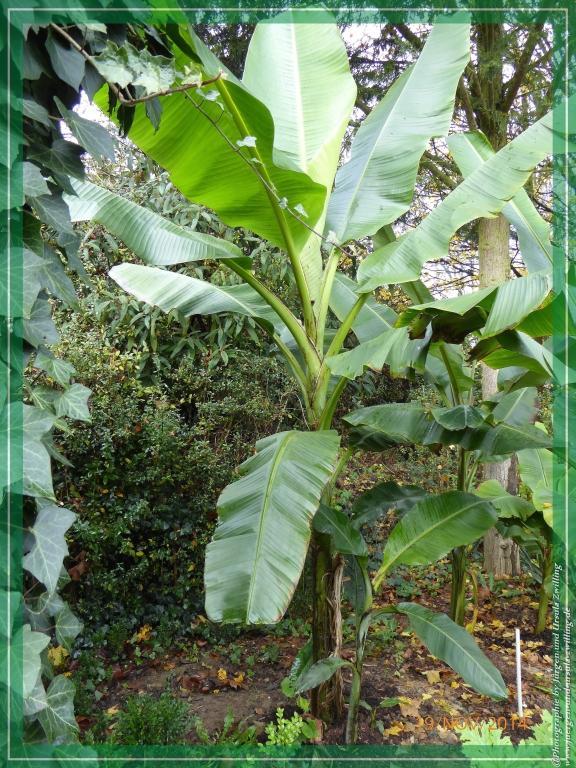 19.11.2014 Musa basjoo - winterharte Banane Pflanze  noch in voller Pracht