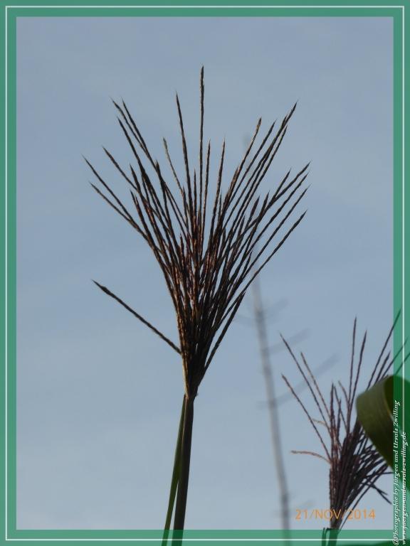 Chinaschilf (Miscanthus sinensis) herbstlich verfärbert in der November Sonne