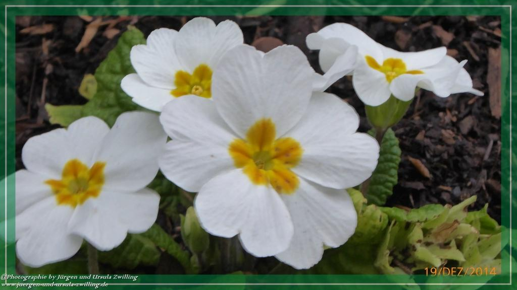 19.12.2014 Frühlingserwachen an Weihnachten - Primeln (Primula)