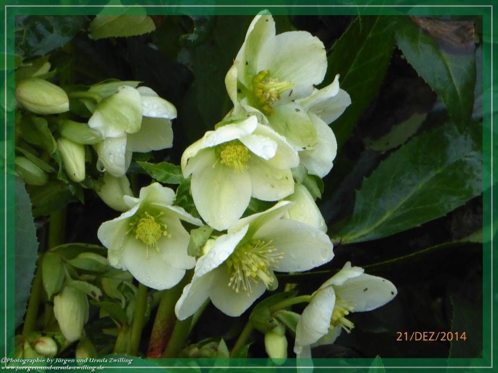 21.12.2014 Schneerose, Christrose oder Weihnachtsrose (Helleborus niger)