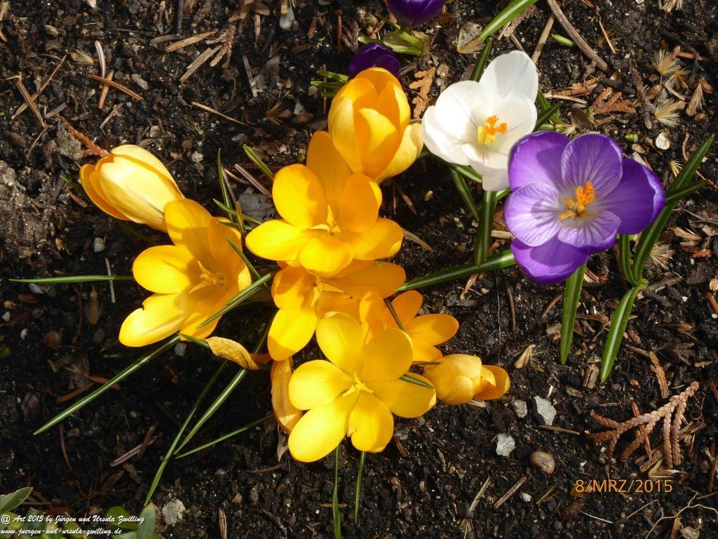 08.03.2015 - Frühlingsfarbenspiel der Krokusse