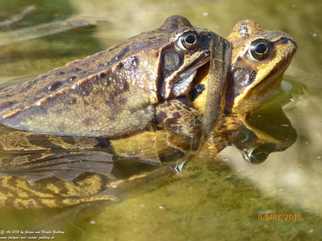 09.03.2015 Badesaison der Kröten (Bufonidae) eröffnet