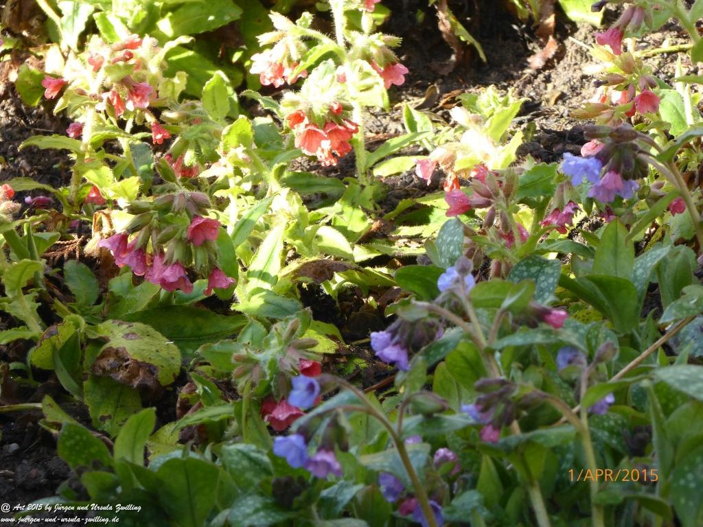 01.04.2015 Schlüsselblume (Primula veris) und Geflecktes Lungenkraut (Pulmonaria officinalis) erstrahlen im Sonnenschein