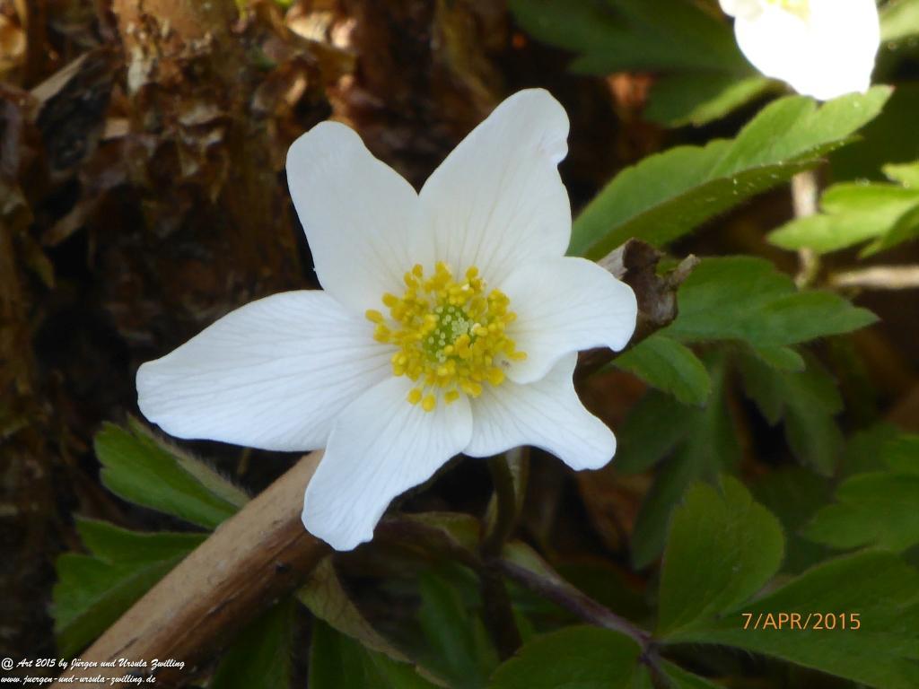 07.04.2015 Buschwindröschen (Anemone nemorosa)