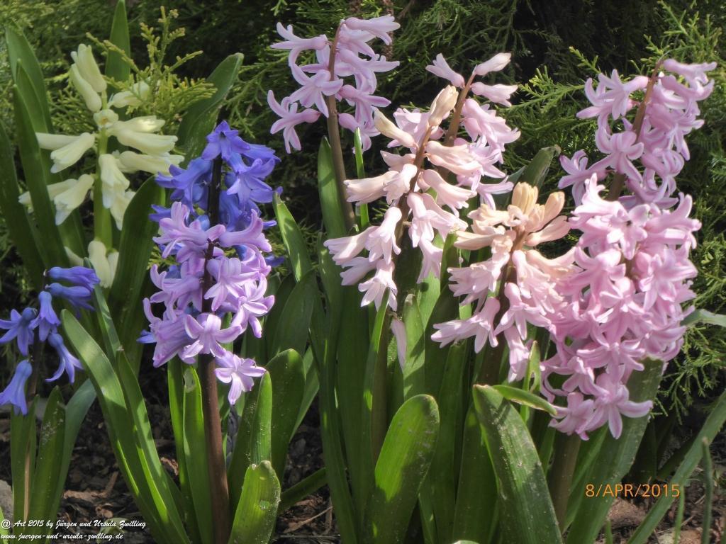 08.04.2015 Farbenpracht der Hyazinthen (Hyacinthus)