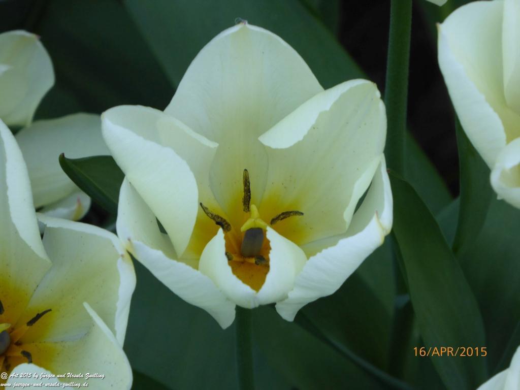 16.04.2015 -Tulpen (Tulipa) aus der Familie der Liliengewächse (Liliaceae)
