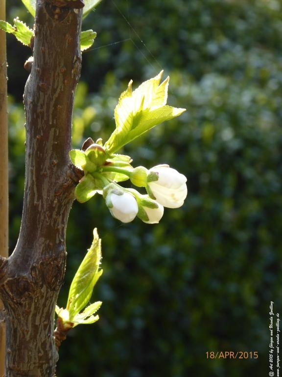 18.04.2015 Erste Blüte der Süßkirsche - Vogel-Kirsche (Prunus avium