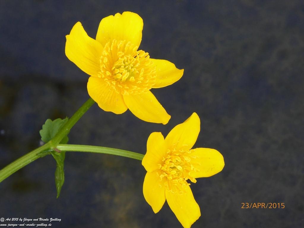 23.04.2015 Sumpfdotterblume (Caltha palustris) erstes Jahr im Garten erblüht - Erinnerungen an den Bayerischen Wald