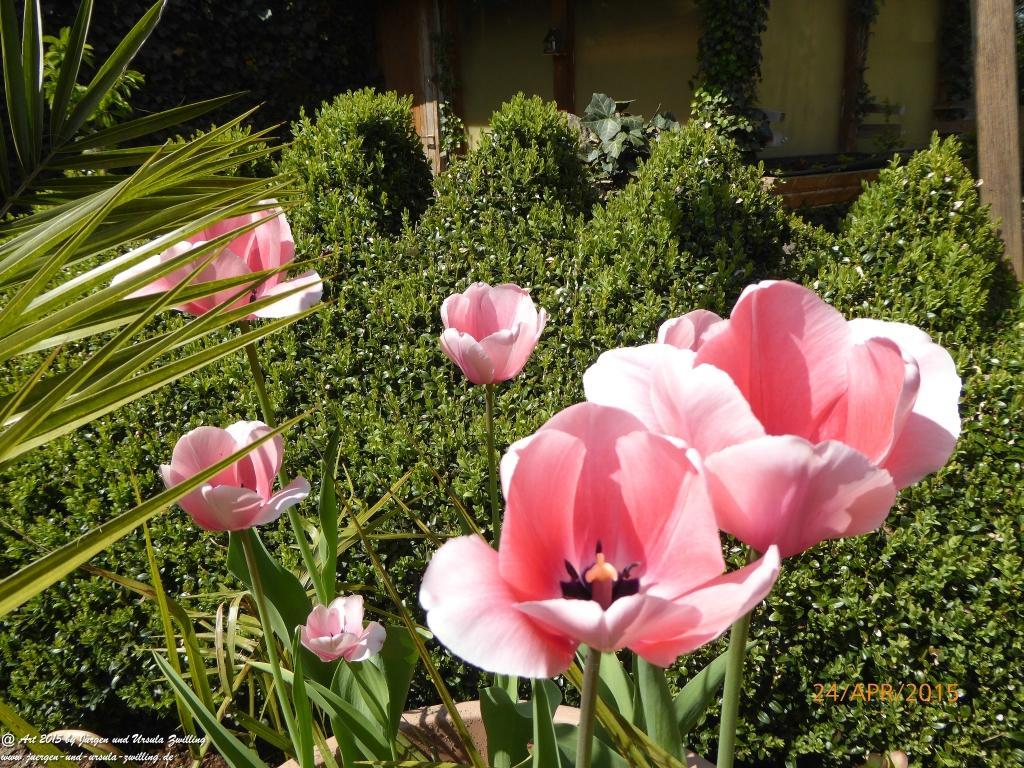 24.04.2015 Blüte der Tulpen