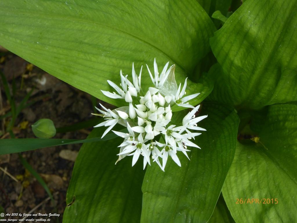 26.04.2015 Bärlauch (Allium ursinum) im zweiten Jahr Erinnerung an die Schwäbische Alb