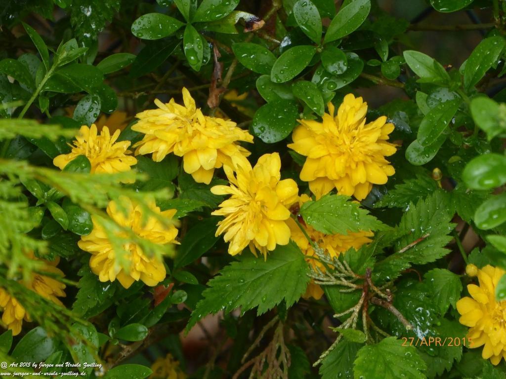 27.04.2015 Ende der gefüllt blühende Japanische Kerrie (Kerria japonica)