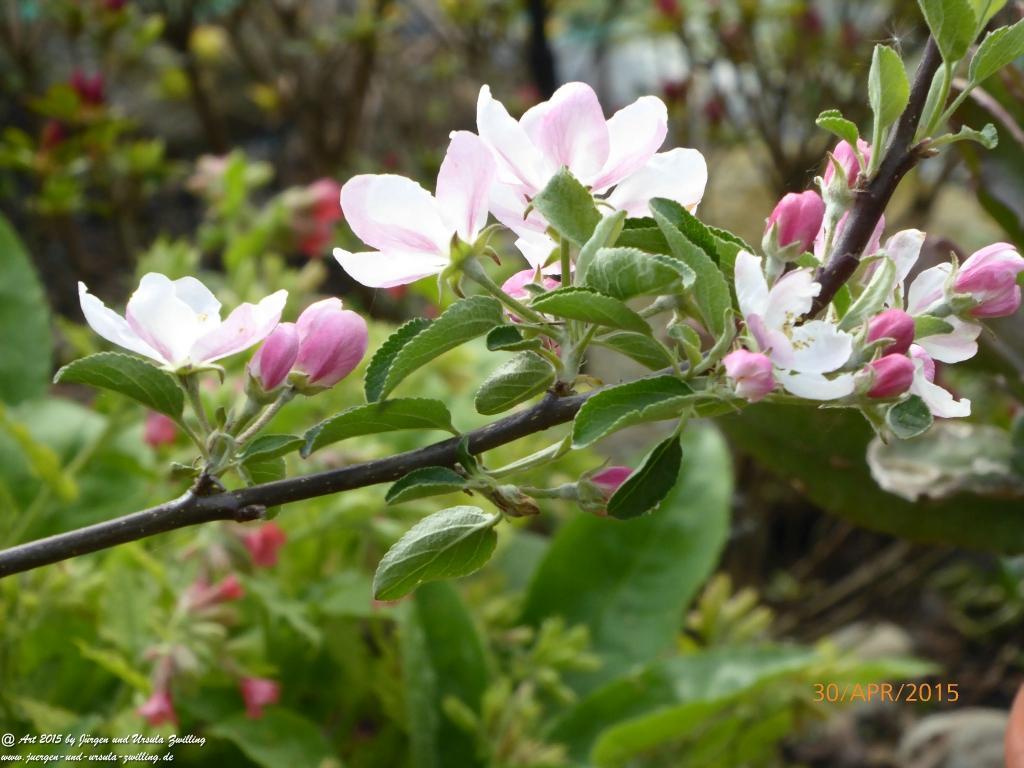 30.04.2015 erste Blüte unseres jungen Apfelbaumes