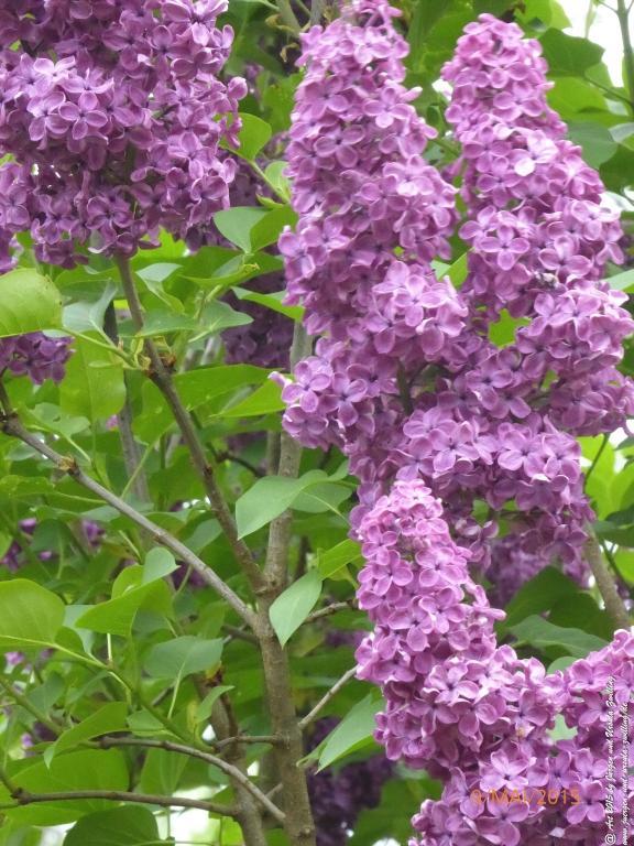09.05.2015 Flieder (Syringa) in voller Blüte
