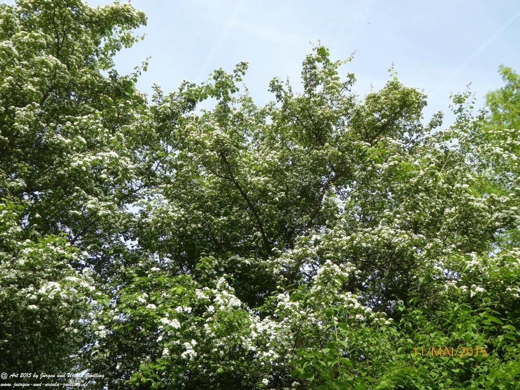 11.05.2015 Blüten-Schnee-Blick