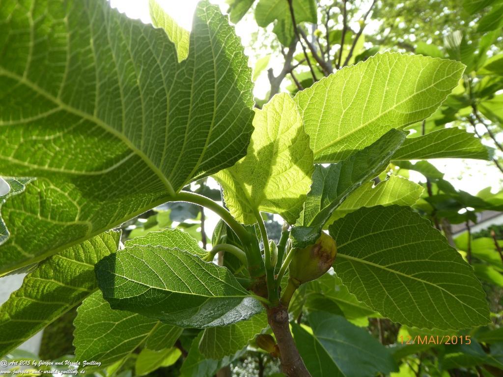12.05.2015  Feige (Ficus carica)