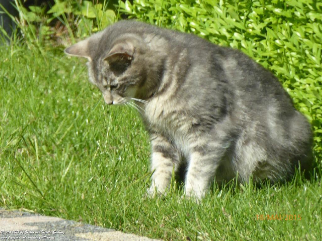 18.05.2015 Katze wird zutraulich - im Winter am Waldrand ausgesetzt, jetzt neuer Gartenbewohner